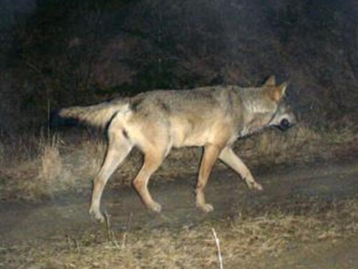 """Abbattere i lupi? """"Una decisione folle"""""""