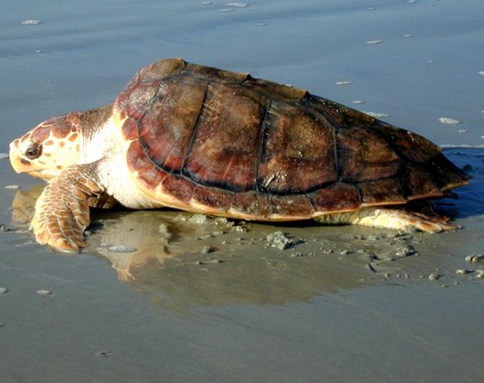 Una tartaruga marina a Lido di Classe