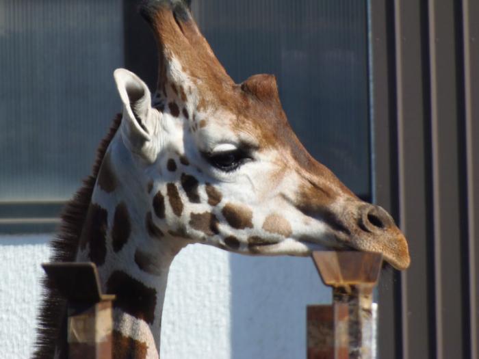E' morta la giraffa fuggita dal circo