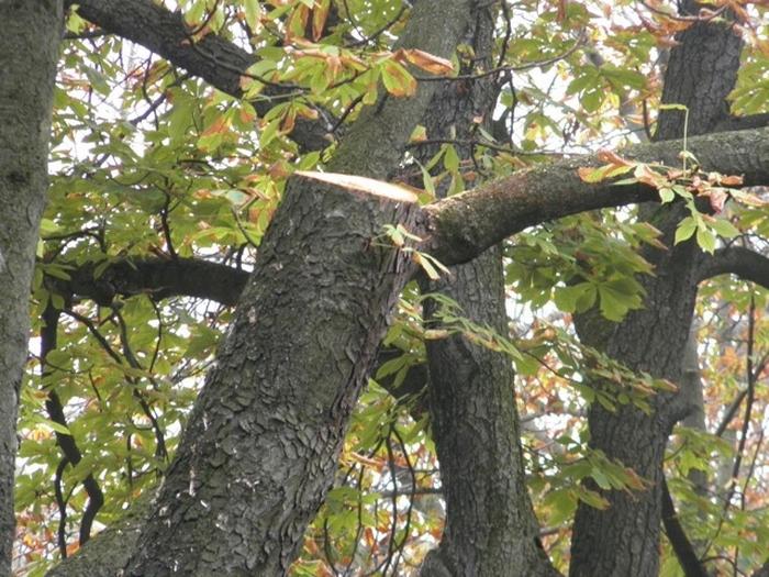Gli alberi sono ammalati, ma…