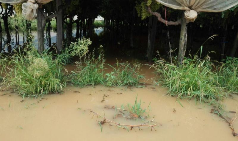 Bomba d'acqua e stravento nella Bassa Imolese e a Medicina, danni all'agricoltura