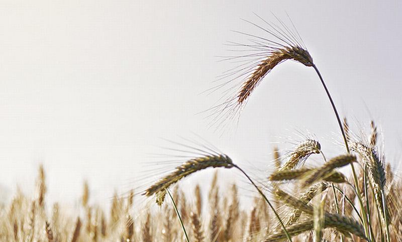 Novità importanti per il grano