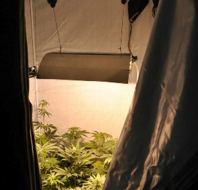 In manette due coltivatori di marijuana