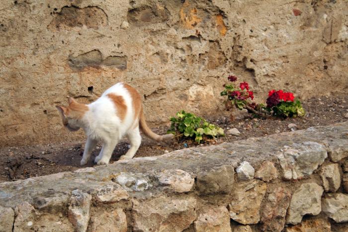 La filariosi cardiopolmonare nel gatto