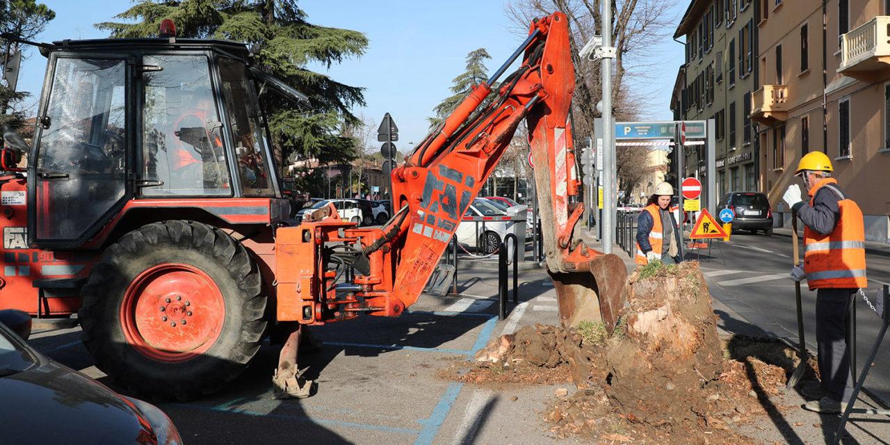Estratti i ceppi degli alberi ammalati, presto ne saranno piantati altri nuovi