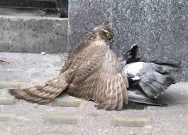 Anche i falchi pellegrini per far fronte all'emergenza piccioni