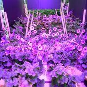 Università e Cefla sperimentano positivamente i Led nella fioritura di piante