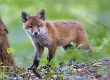 Caccia alla volpe, la Regione approva la caccia in tana