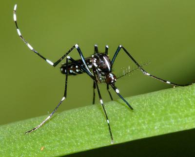 Contro la proliferazione delle zanzare, usate il larvicida Acquatain