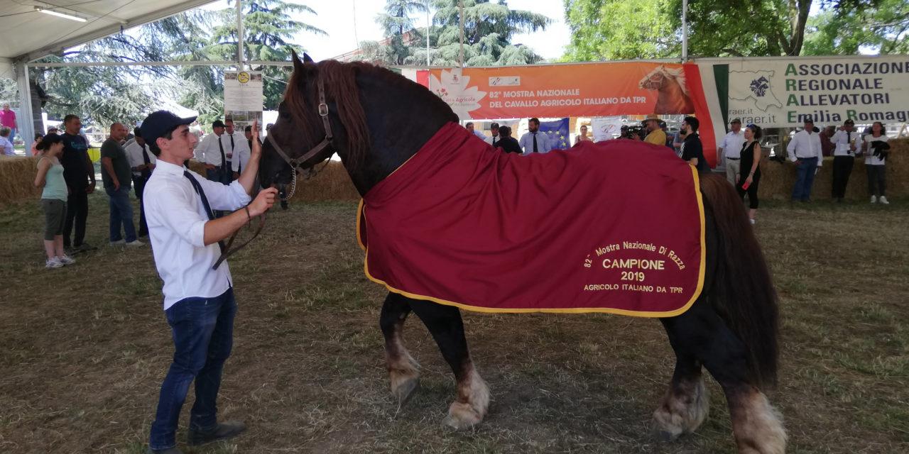 """Lo stallone """"Bramoso"""" star del finale della Fiera Agricola del Santerno"""