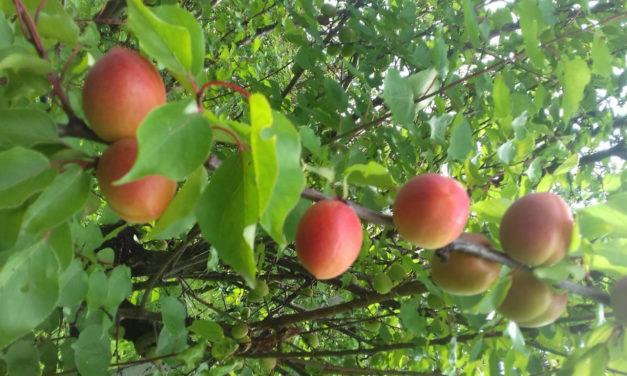 Frutta, prezzi insostenibili per pesche e albicocche