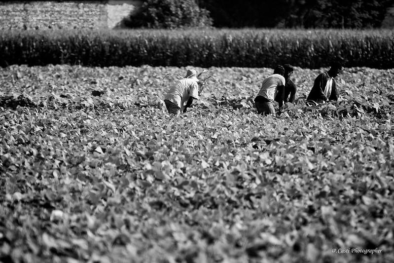 Quarantena attiva per lavoratori agricoli europei