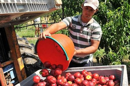 Caos manodopera nelle campagne