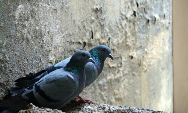 I piccioni ed Imola: un binomio difficile