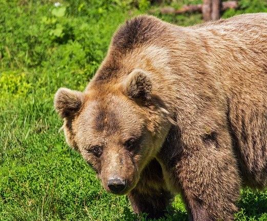 Io sto con l'orso!