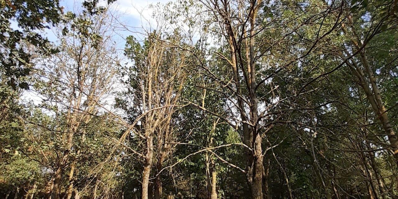 """Taglio di alberi """"secchi"""" nel boschetto vicinino a via Suore"""