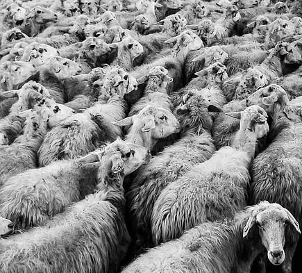 Festività pasquali, multato di 15.000 euro per trasporto illegale di agnelli