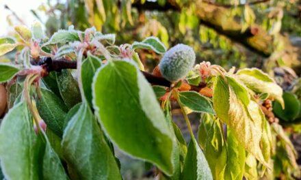 Gelate: colpo di grazia alle colture frutticole